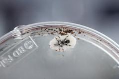 Dendroctone du mélèze