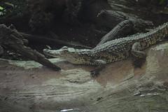 the small crocodile
