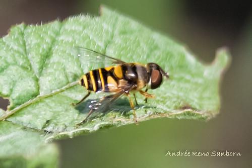 Transverse Flower Fly (Eristalis transversa)