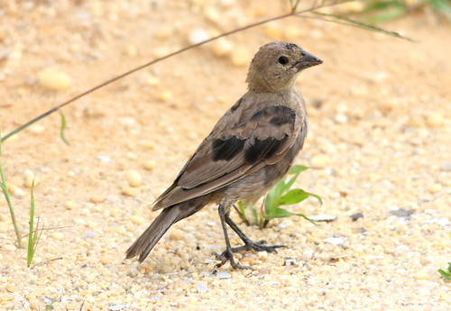 (Juvenile) Brown-headed Cowbird 5