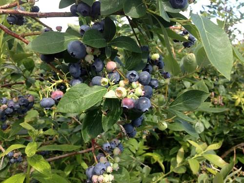 blueberries-4