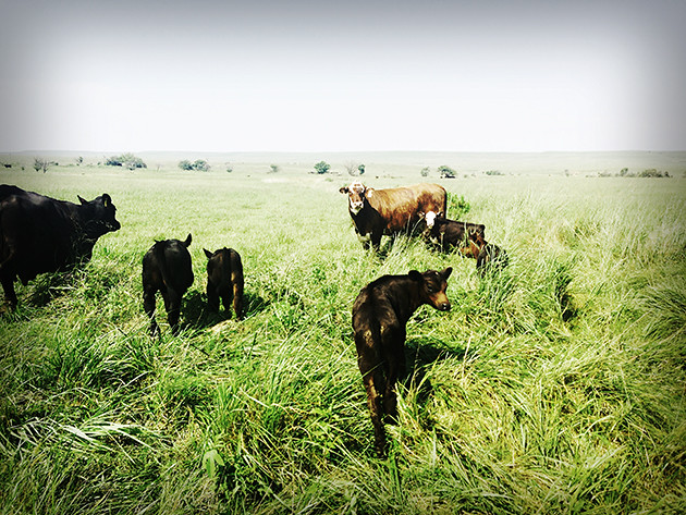 Sweet Baby Calves
