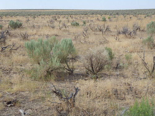 grass habit idaho annual habitat poaceae introduced bunchgrass rogerson cheatgrass bromustectorum coolseason artemisiatridentatawyomingensis