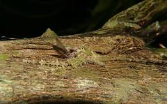 Craneflies of Whitsunday Shire