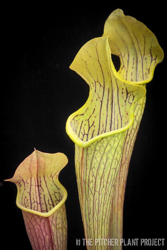 Sarracenia rubra ssp. alabamensis ICPS 02-1