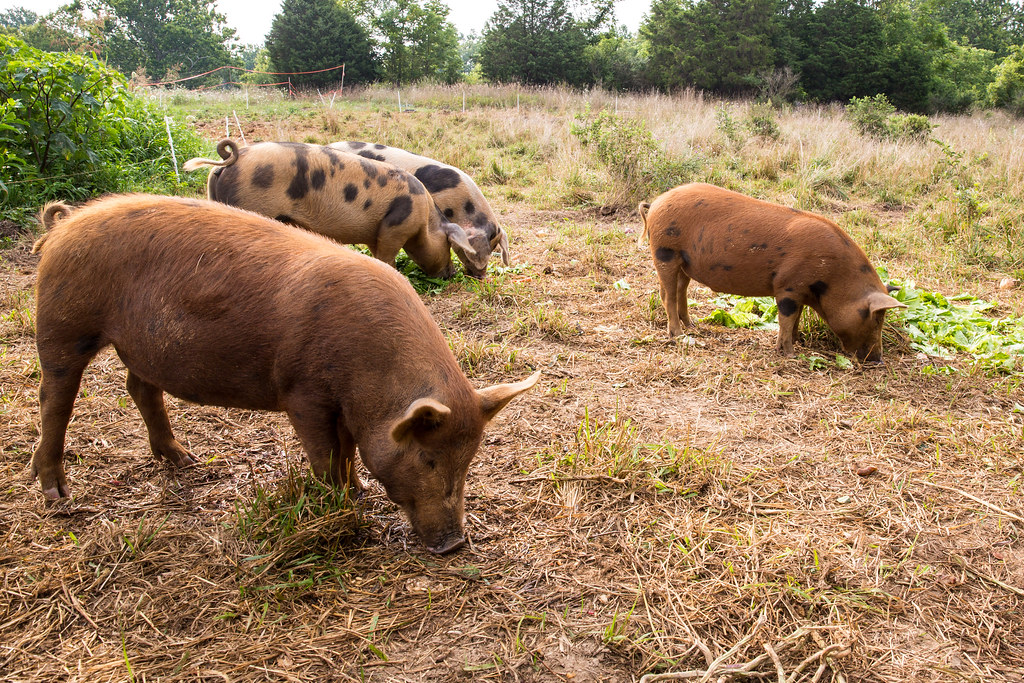 Pigs from Green Gate Farm CSA in Shepherdstown West Virginia