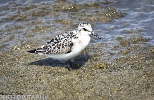 Sanderling by Ricky L. Jones Photography