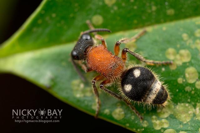 Velvet Ant (Mutillidae) - DSC_3767