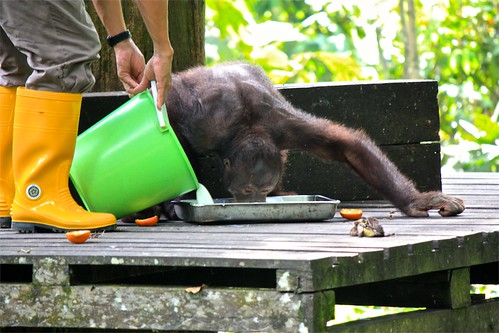 An orangutan dependent on the given food source