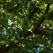 Small photo of Altadena Parrot