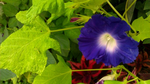 Ipomoea nil Ginro 4 by Gerris2