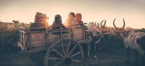 portrait sunrise photos leverdesoleil zebu photographe charette zebus lapause cyrilblanchard
