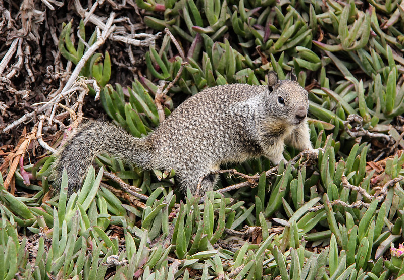 California ground squirrel IMG_9228 by grebberg