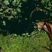 Jaguar (Panthera onca) male ©berniedup
