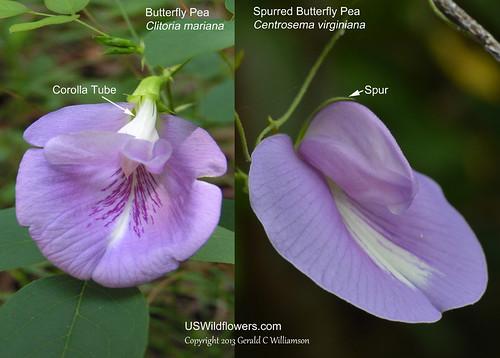 Butterfly Pea Comparison
