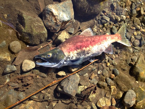 Red Kokanee Salmon, Lake Tahoe
