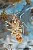 Tiger Shrimp Phyllognathia ceratophthalmus