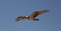 vulture(0.0), animal(1.0), bird of prey(1.0), eagle(1.0), wing(1.0), fauna(1.0), buzzard(1.0), accipitriformes(1.0), kite(1.0), beak(1.0), bird(1.0), flight(1.0),