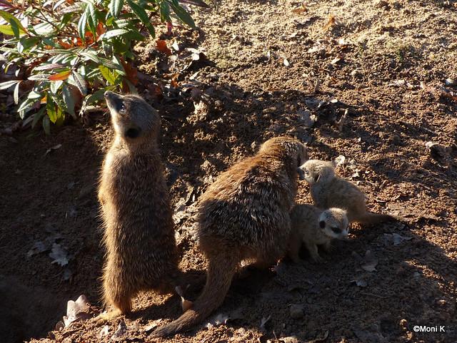 1-Erdmännchenfamilie