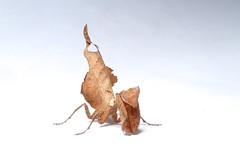 Mantis looks like dead leaf ID needed