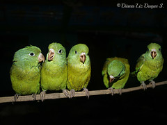 Orange-chinned Parakeet / Brotogeris jugularis
