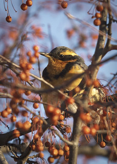 Shy Varied Thrush