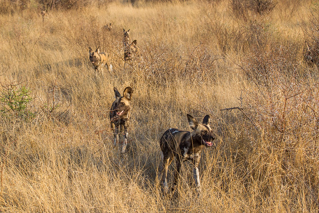 Wild Dog Welcome to Madikwe