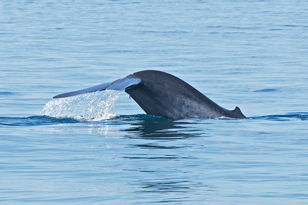 Blue Whale Sri Lanka 2013-11-25 (6)