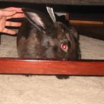 Loose rabbit. Grab it's ears!