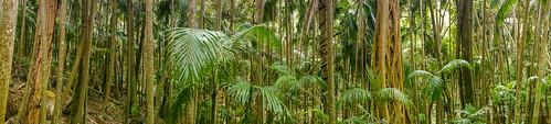 trees panorama mountain forest palms landscape flora rainforest native australia bushwalking qld queensland tamborine stranglerfig bangalow mttamborine bangalowpalm 2013 tamborinenationalpark joalah northtamborine sonynex6