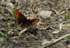 1300 DSC_0168_4 common alpine