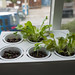 Lettuce, basil, and a tiny start of a habanero plant. by cjmartin