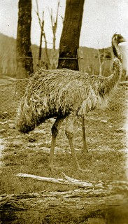 Emu in the Megalong Valley