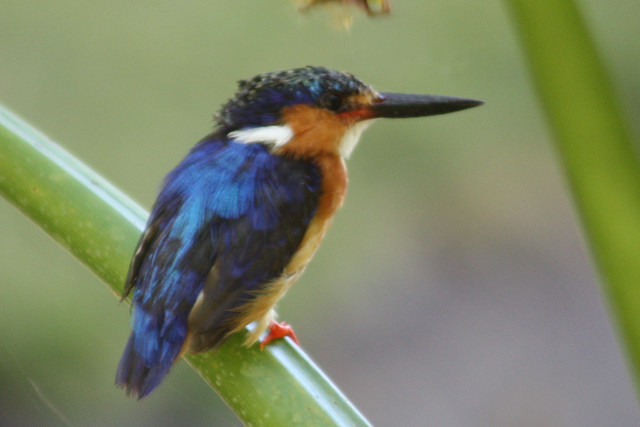 Header of Alcedo vintsioides