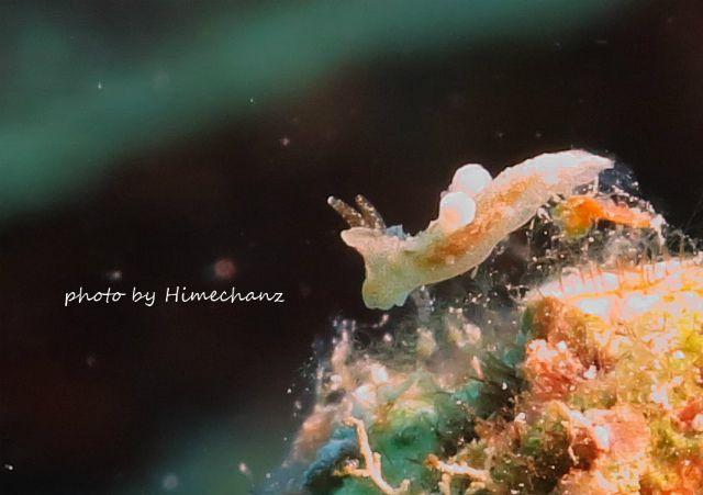 小さすぎてよくわからないけど多分センヒメウミウシ科の1種