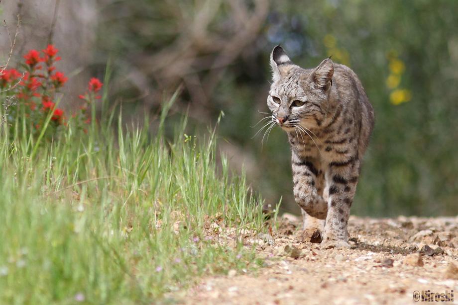 Bobcat-041014-4