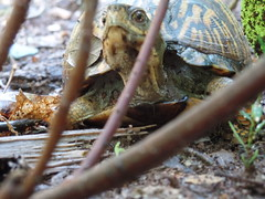 box turtle laying eggs