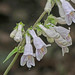 Pale Beardtongue - Photo (c) Jerry Oldenettel, some rights reserved (CC BY-NC-SA)