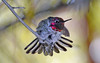 Fluffy Anna's Hummingbird