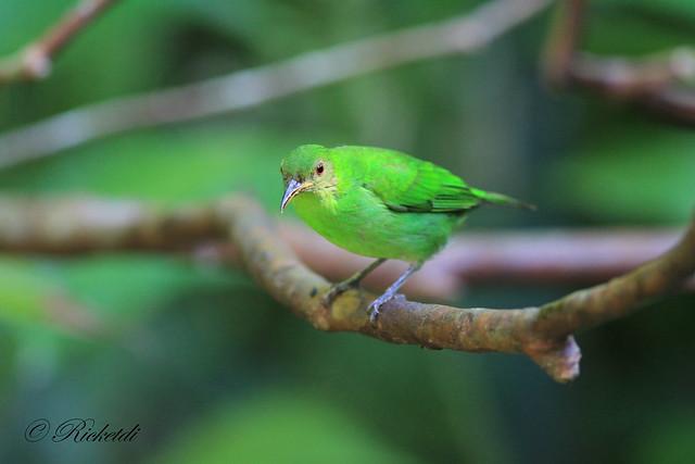 green honeycreeper female / guit-guit émeraude femelle