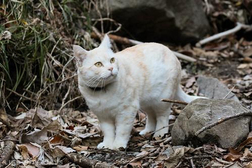 4T4A4625-2 Cream tabby Japanese cat 薄茶トラ猫