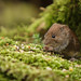 Bank vole feasting on bird food by Sylviane Moss