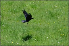 Crow over Meadow