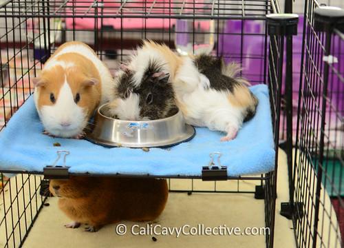 Three guinea pigs enjoying bunk bed