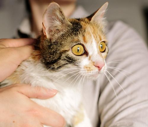 Jaspe, maravillosa tricolor de ojos cobrizos esterilizada nacida en Abril´11, necesita adopción. Valencia. ADOPTADA.  9142807776_7619de7cda