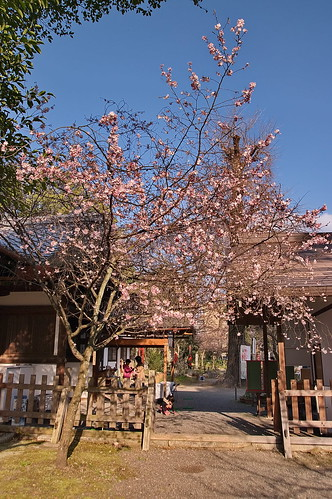 【写真】2013 桜 : 平野神社/2021-01-09/IMGP8709