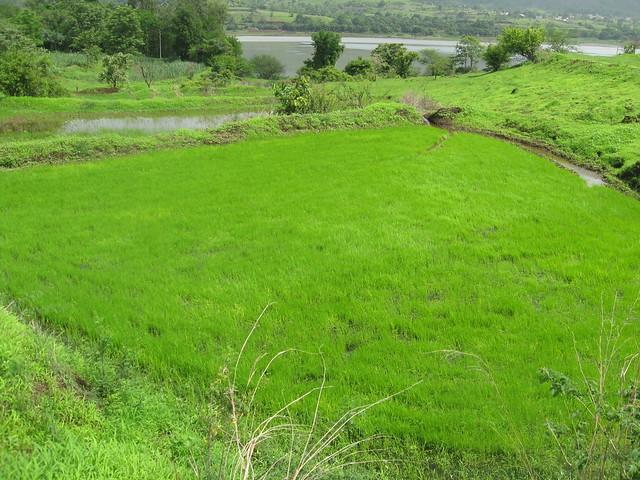 Lush green rice fields lie near the backwaters of the Khadakwasla dam.