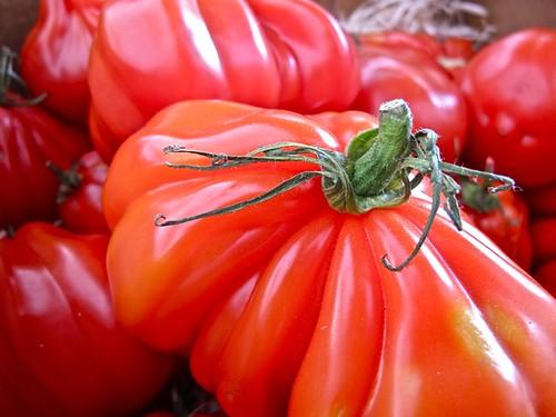 Vilde danske tomater / Wild Danish tomatoes