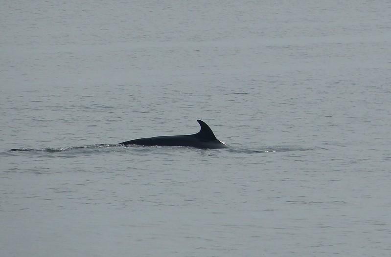 P1050483_2 - Minke Whale, Isle of Mull