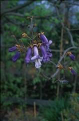 Paulowniaceae
